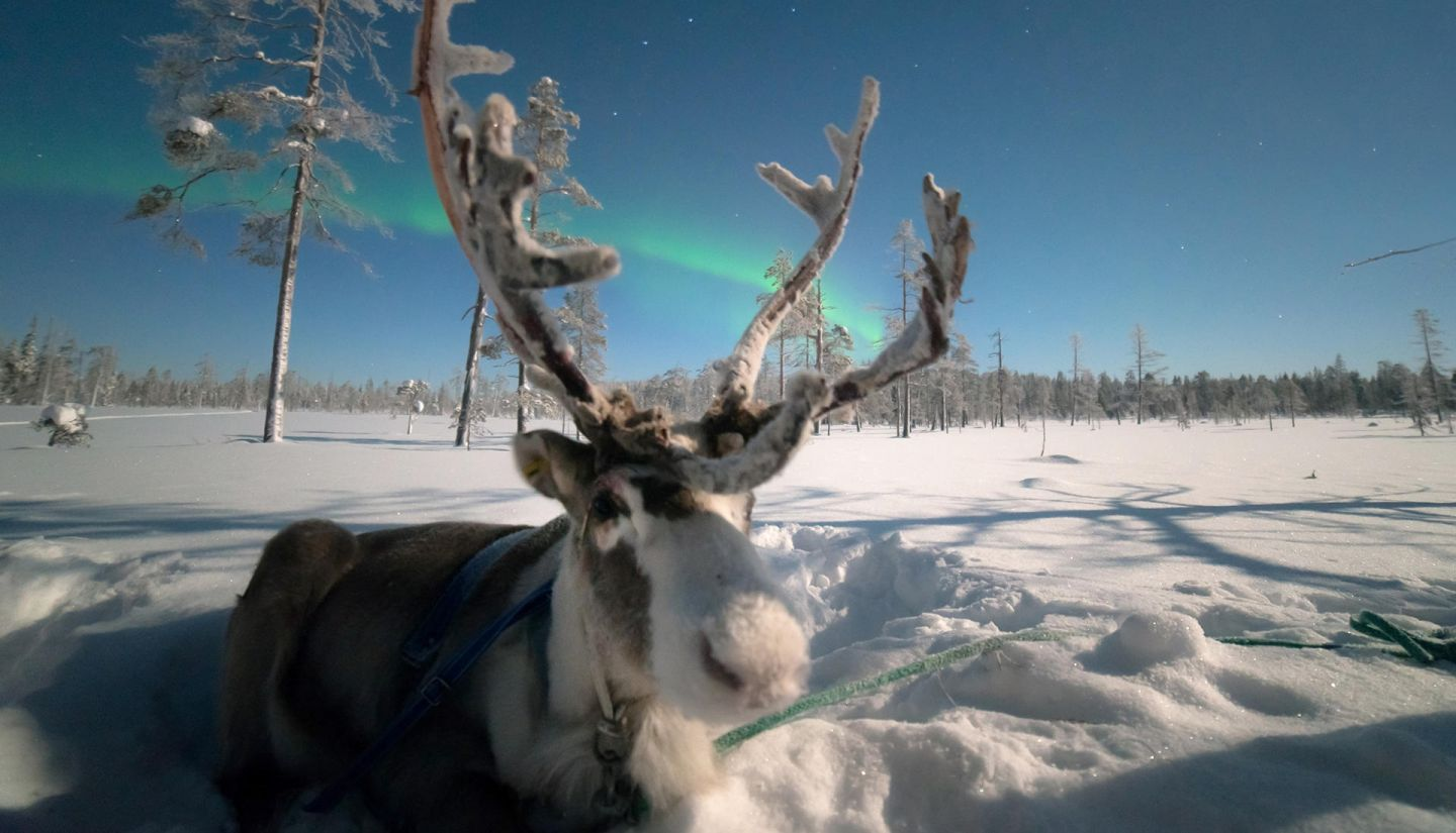 Reindeer enjoying the Northern Lights in Salla, Lapland in winter