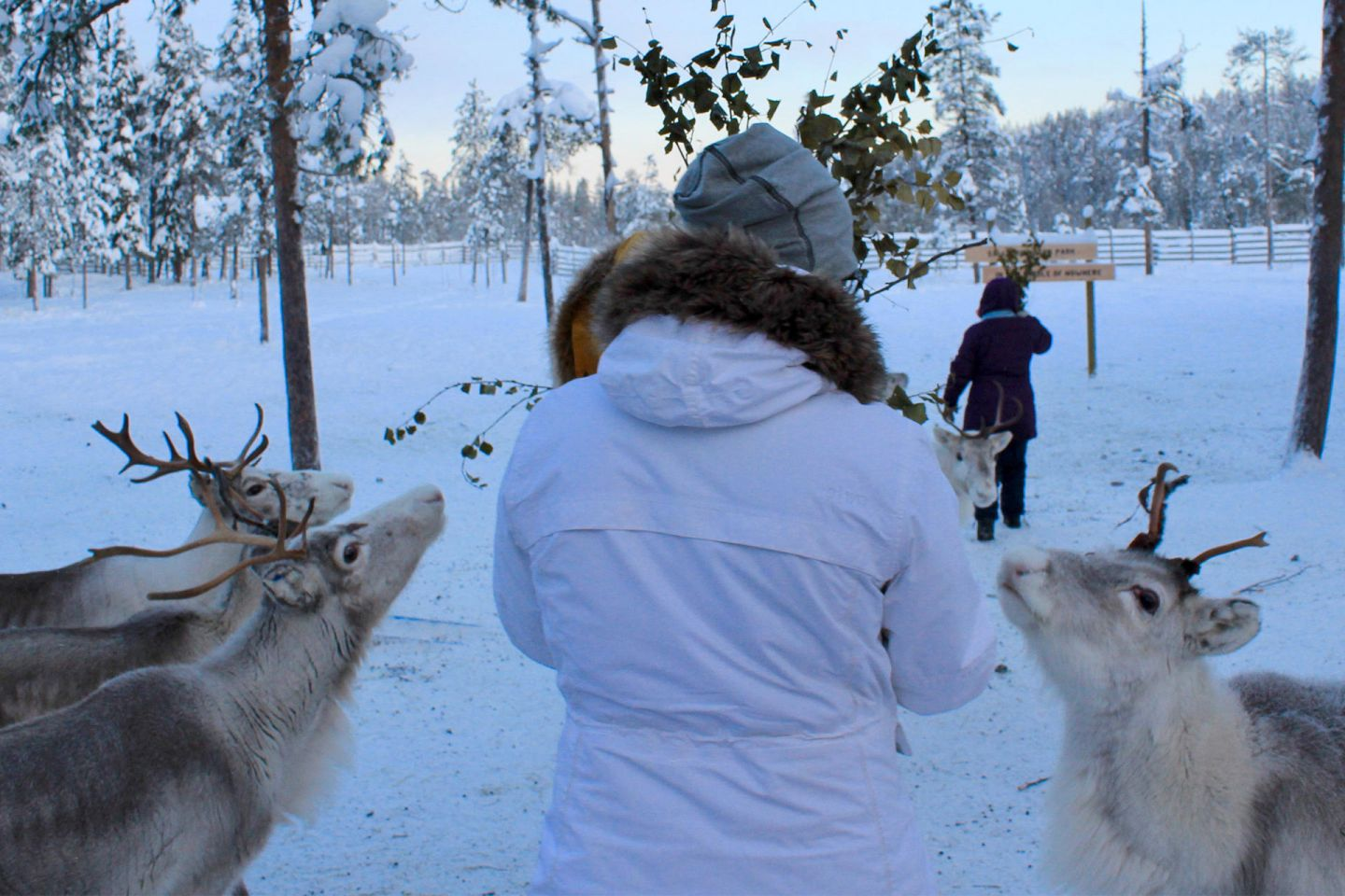 Curious customer and curious reindeer at the farm in Salla, Lapland