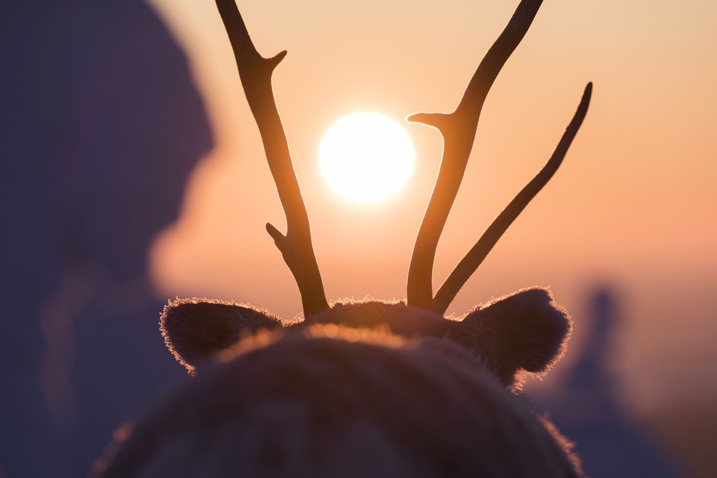 The sun between a reindeer's antlers, during production of A Reindeer's Journey in Lapland
