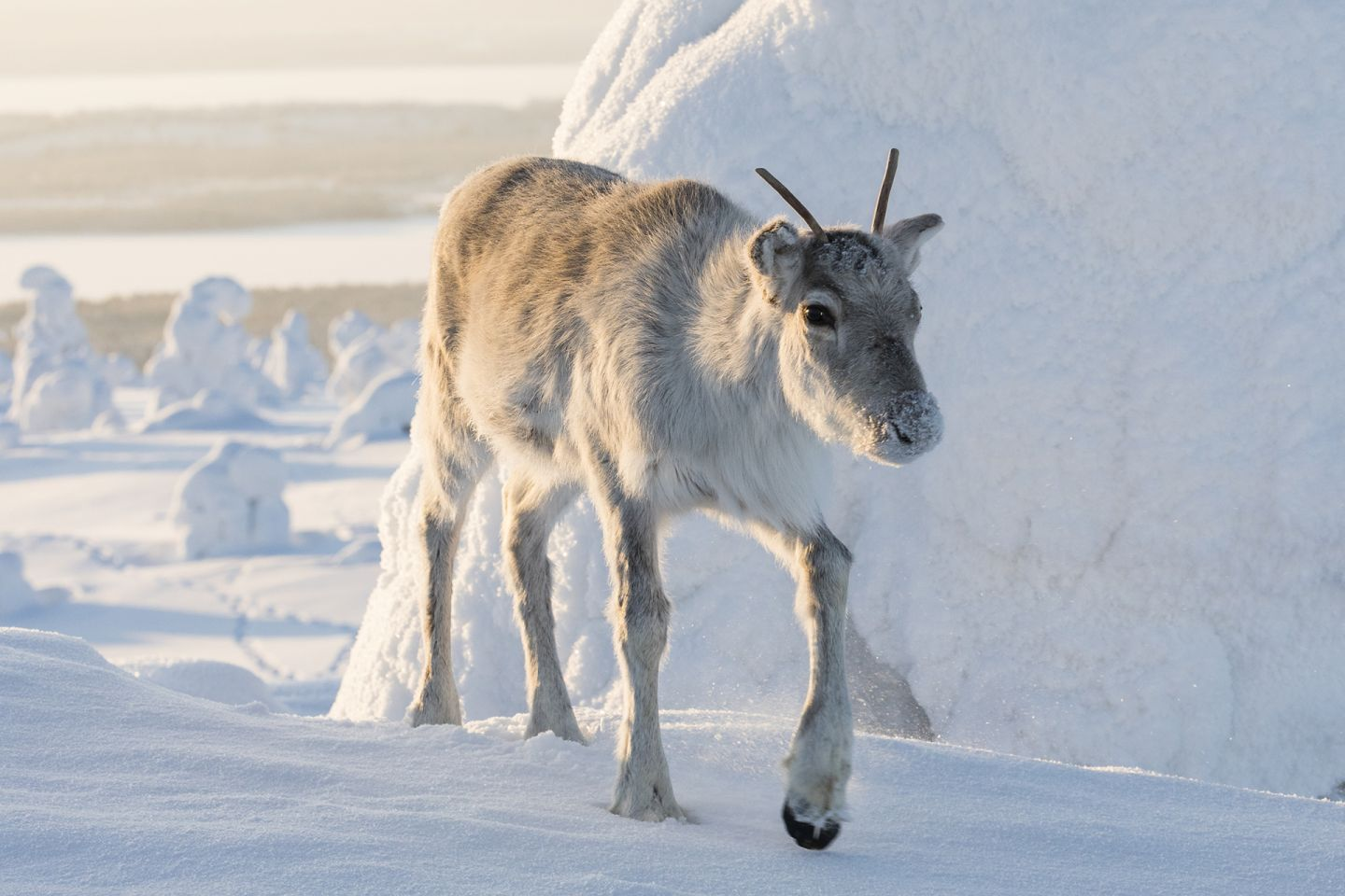 Reindeer walking across snow, during production of A Reindeer's Journey in Lapland