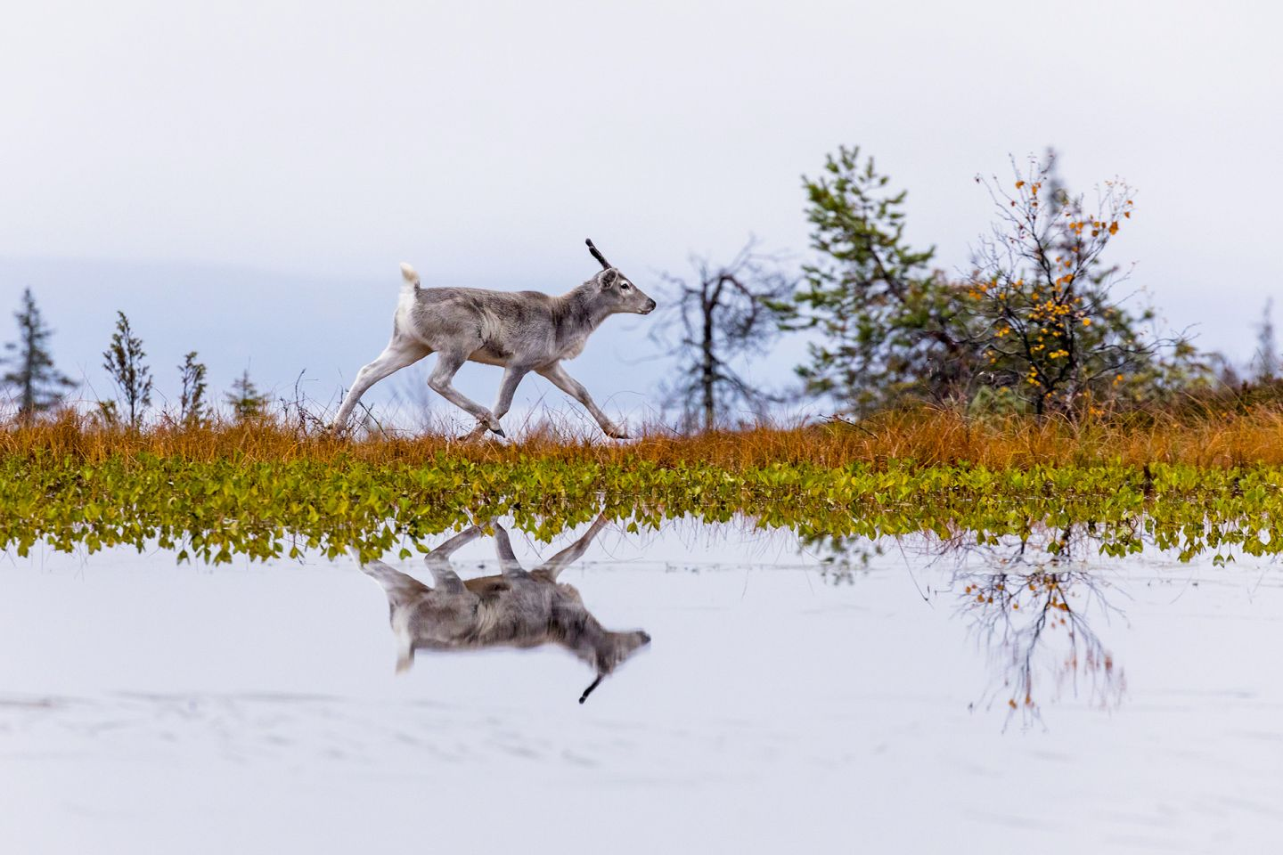 Reindeer reflected in lake, during production of A Reindeer's Journey in Lapland
