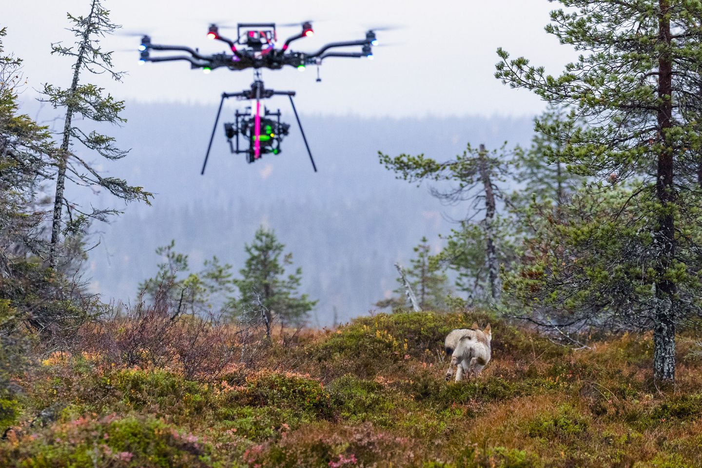 Drone filming a running wolf, during production of A Reindeer's Journey in Lapland