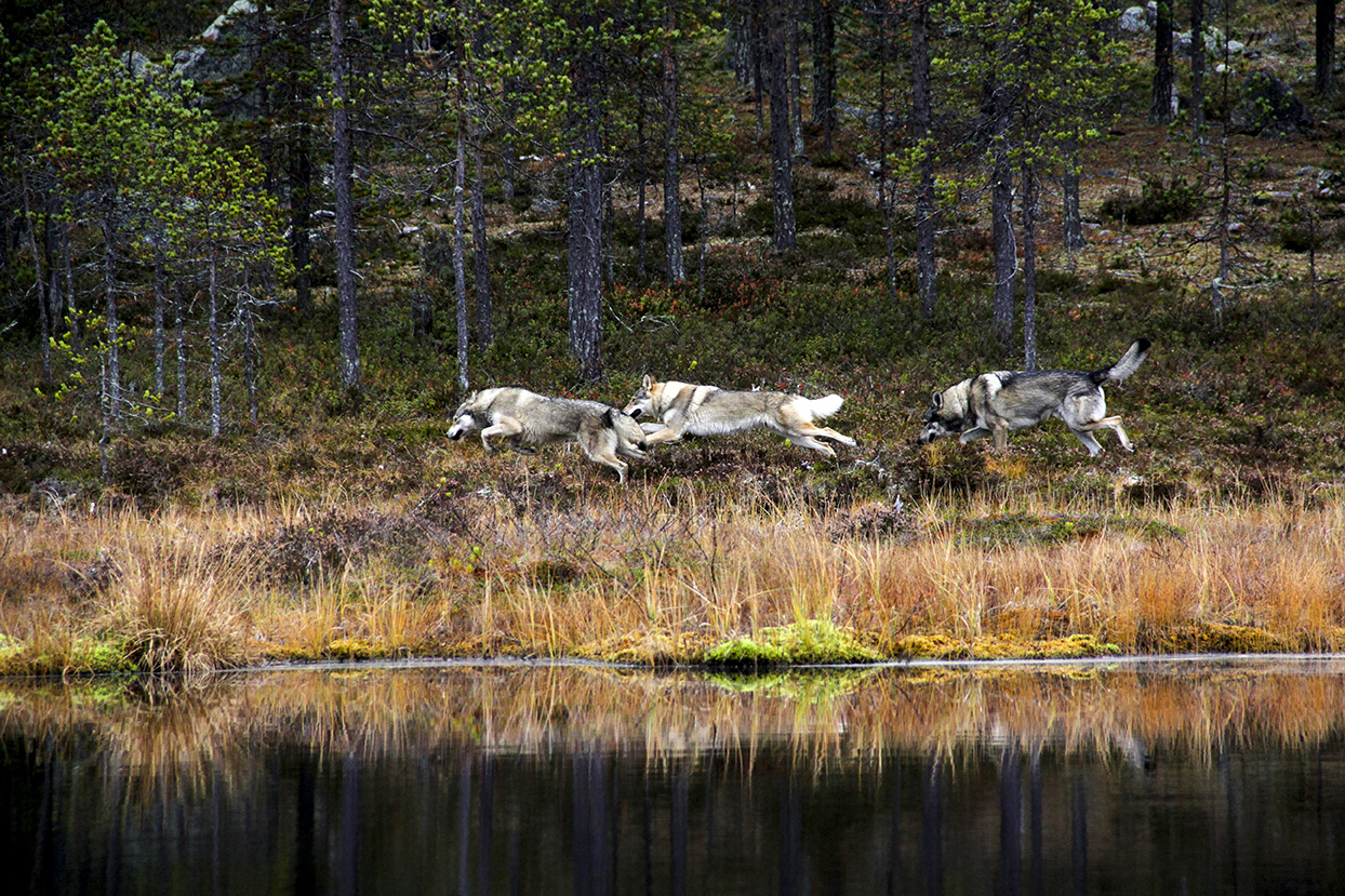 Wolves running, during production of A Reindeer's Journey in Lapland