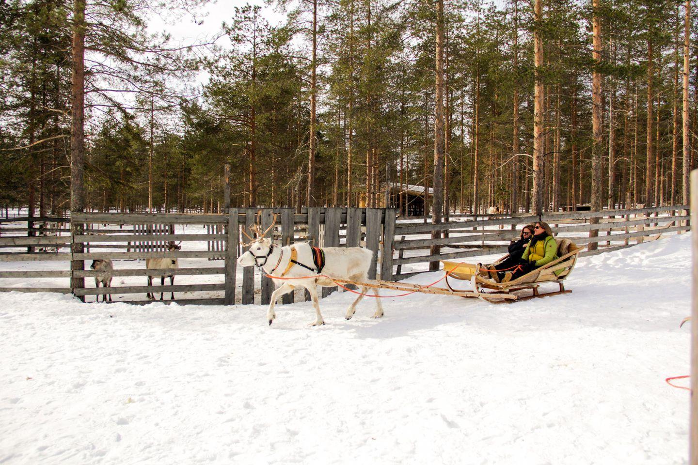 White reindeer pulling a sledge
