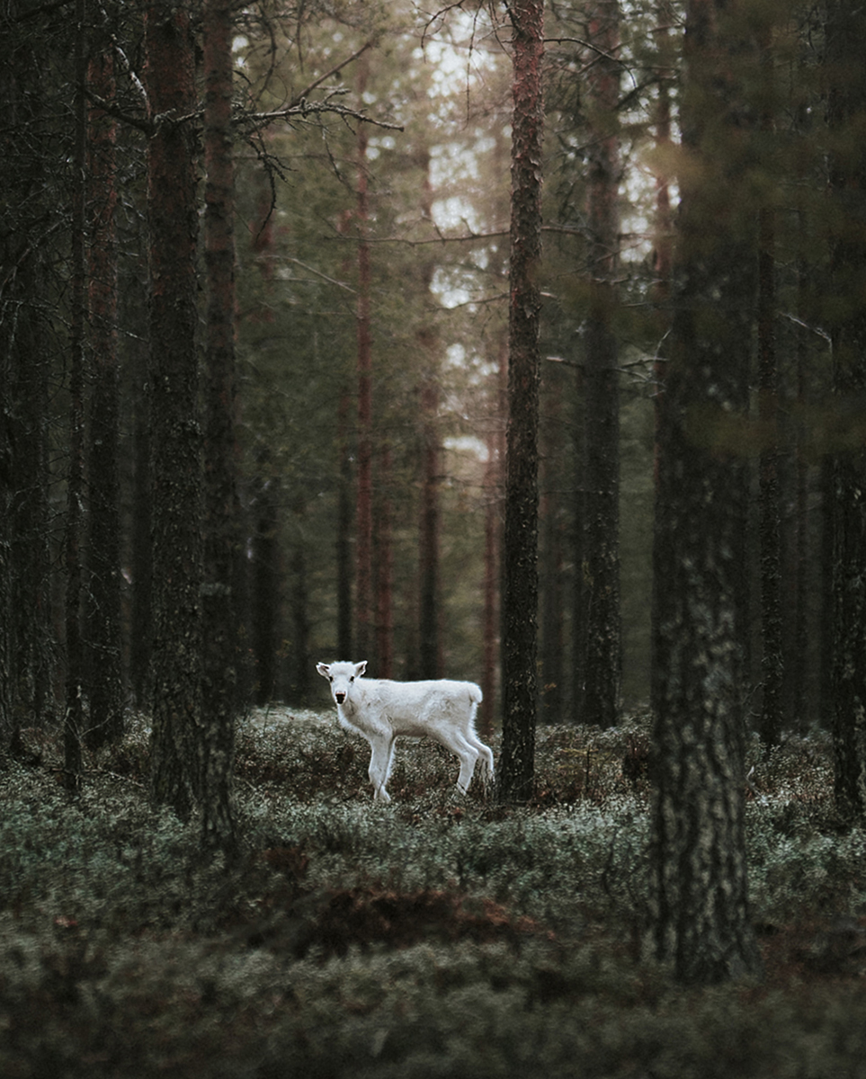 White reindeer in the forest, by arctic nature photographer Sanni Vierelä