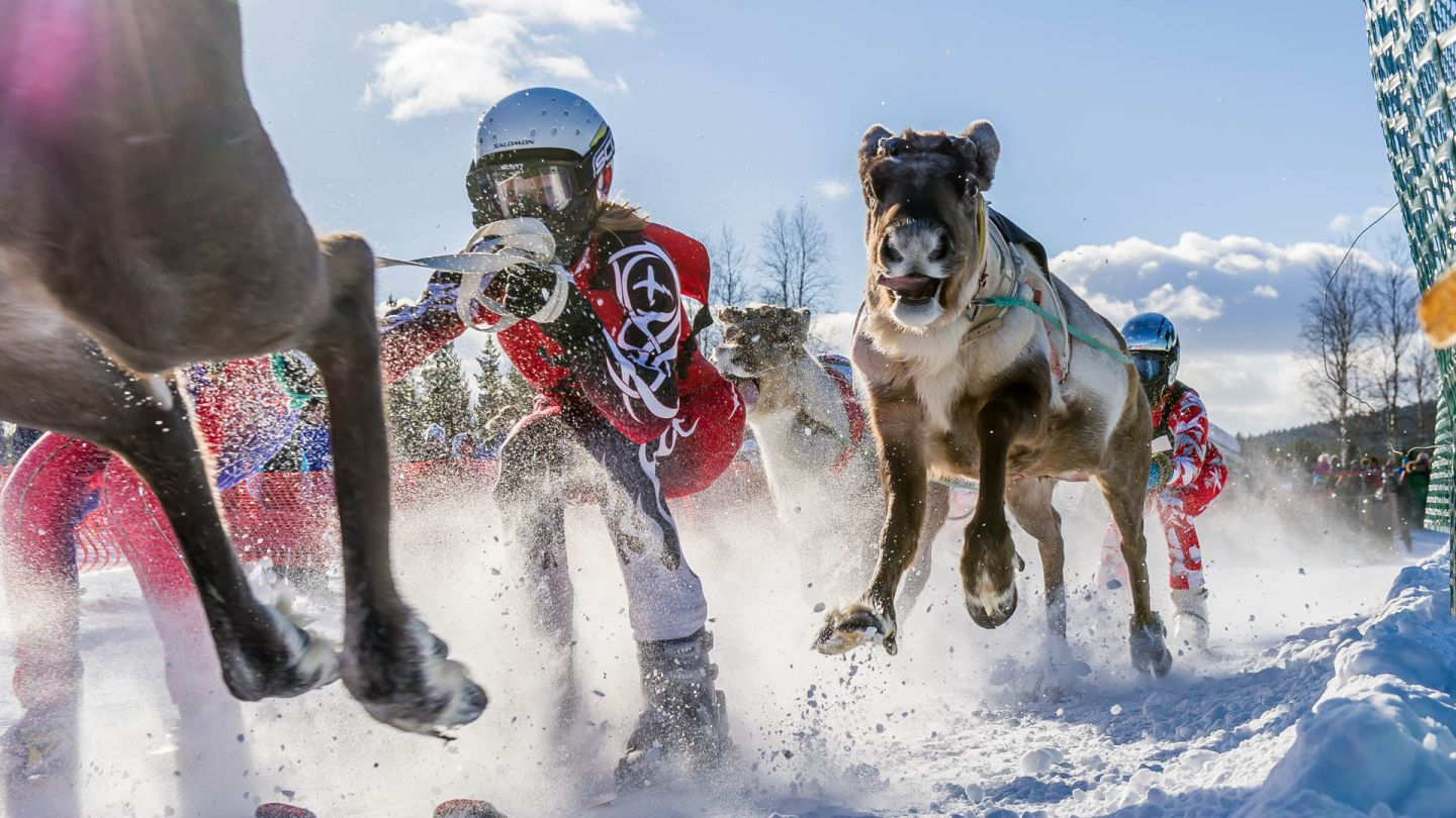 Reindeer race in Lapland