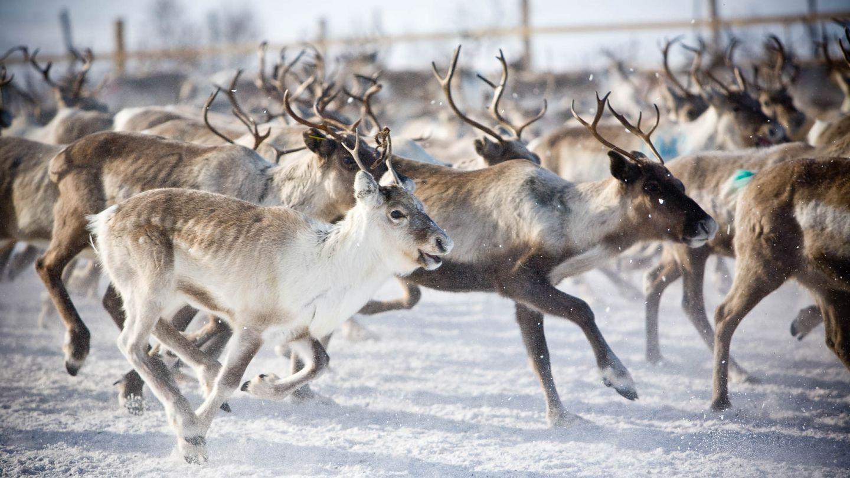 Pack of reindeers running
