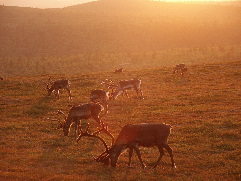 Reindeer under the Midnight Sun