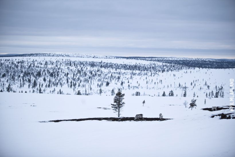 Reindeer eating in an oasis of green among the white snowy field in Inari, Finland