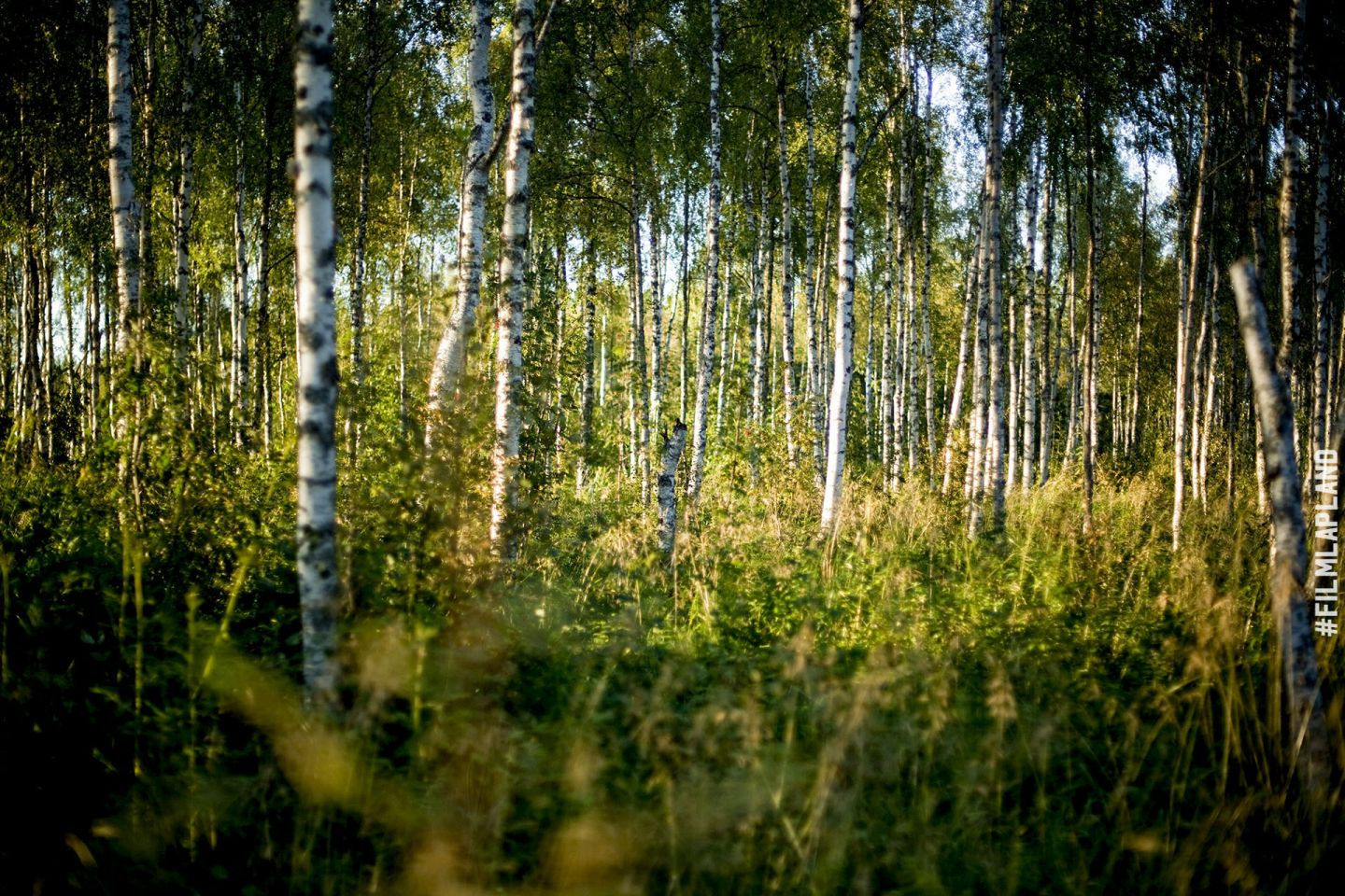 Sunlight filtering through birch trees in Sodankylä, Finland