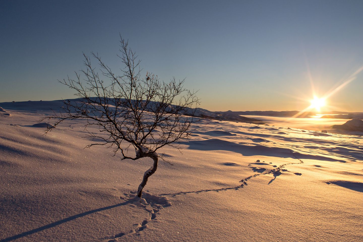 Lonely dwarf birch in a snowy arctic wilderness in Enontekiö Lapland