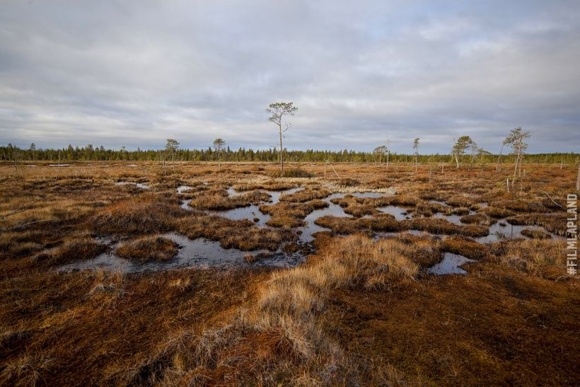 Wet bog in autumn in Rovaniemi, Finland