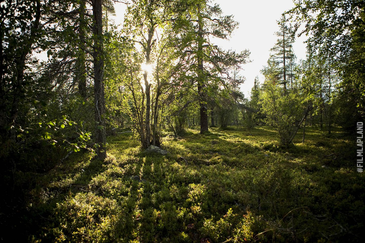 Summer sunlight and green forest in Sodankylä, Finland