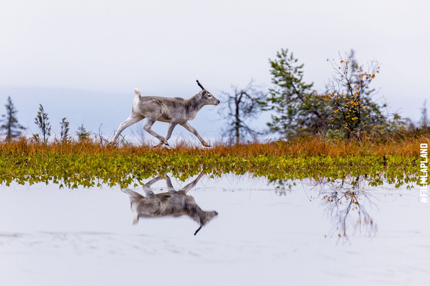 Reflection of reindeer in lake in Posio, Finland in autumn