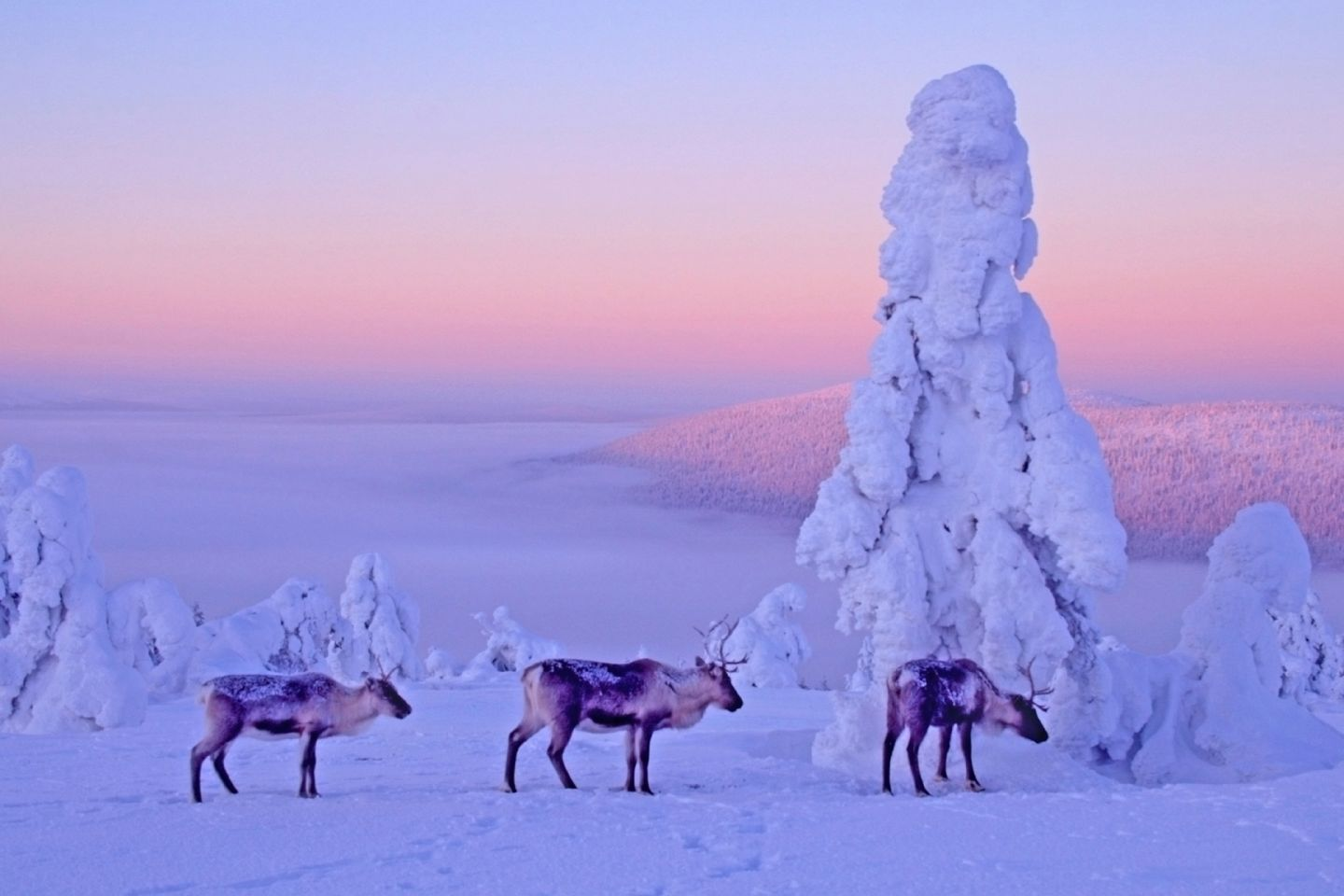 Reindeer in a morning mist in snowy lanscape, Levi Kittilä, Lapland