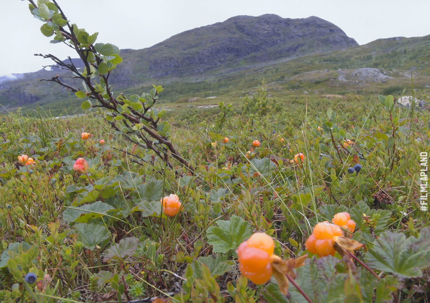 Cloudberries and blueberries in a bog in Lapland, Finland