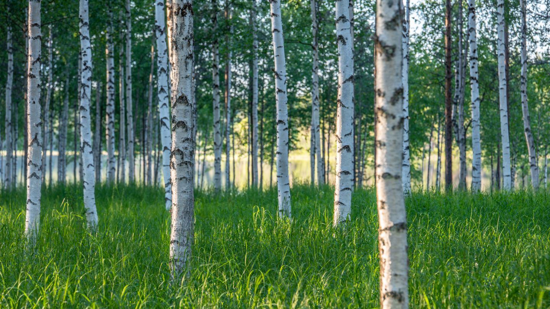 summer forest birch
