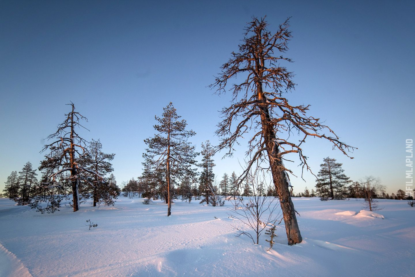 Old pine trees poke up from the snowfall in