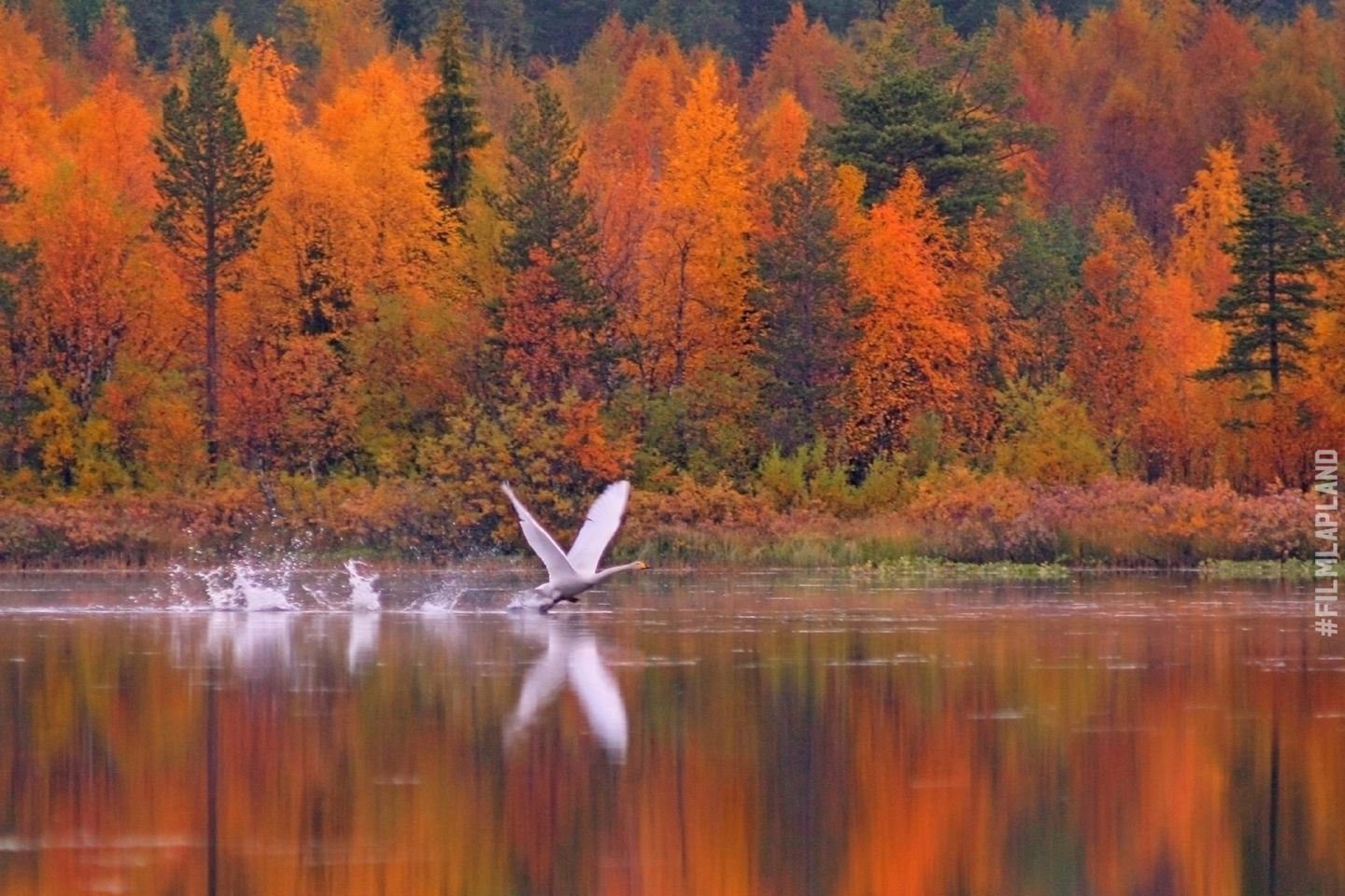 Swans flying over a lake in Kittilä, Finland in autumn