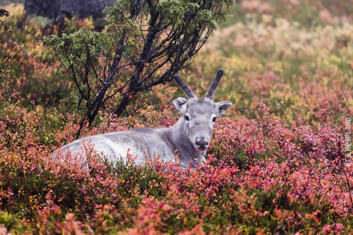 Reindeer calf relaxing in forest in Posio, Finland in autumn