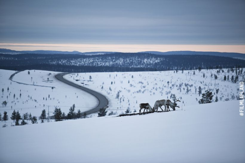 Reindeer beside a snowy Arctic road in Inari, Finland