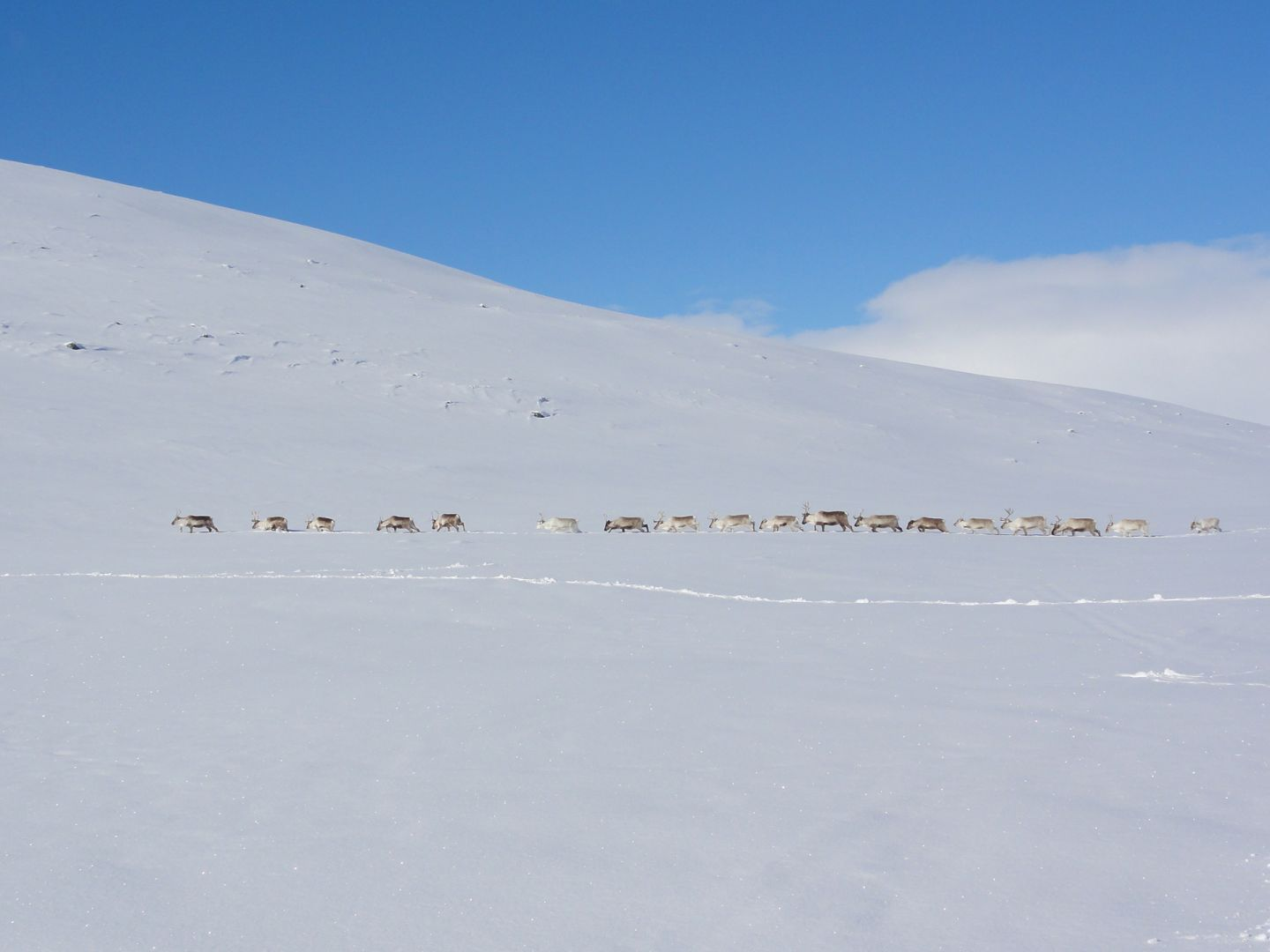 Reindeer herd on an arctic scenery in Enontekiö, Lapland