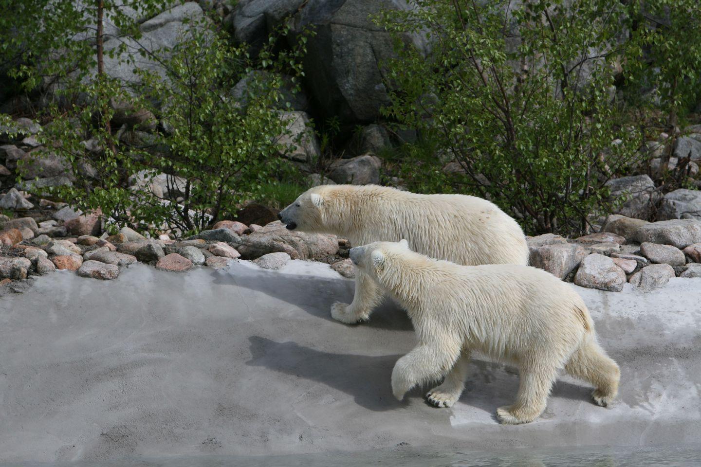 Polar bear couple in Ranua Zoo, Lapland