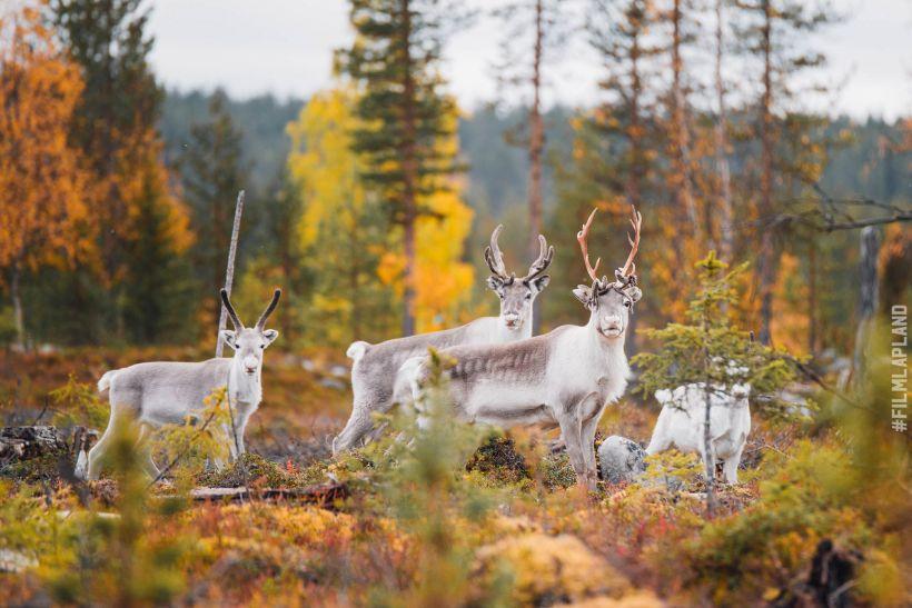 Reindeer in forest in Ylläs, Kolari, Finland in autumn