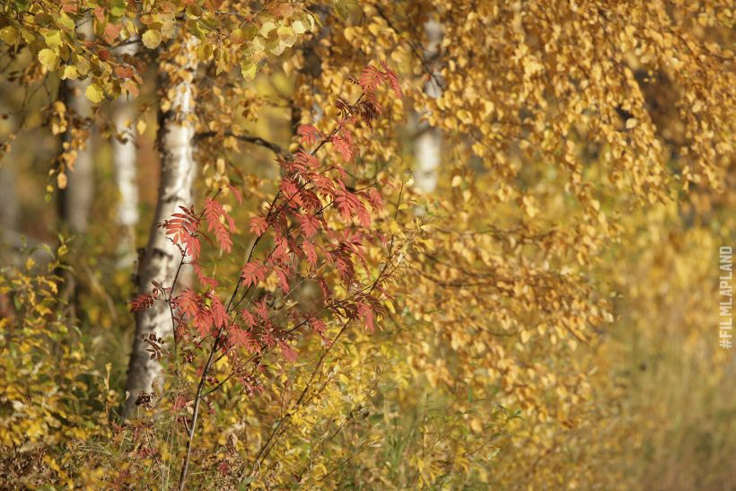 Yellow birch leaves in Rovaniemi, Finland in autumn