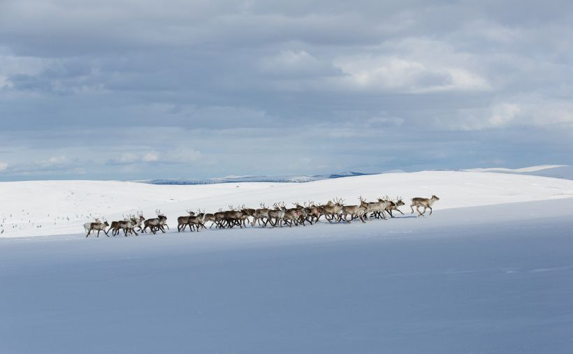 Reindeer group walking in wilderness, Inari, Finland