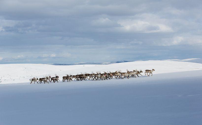 Reindeer group walking in wilderness, Inari, Finland
