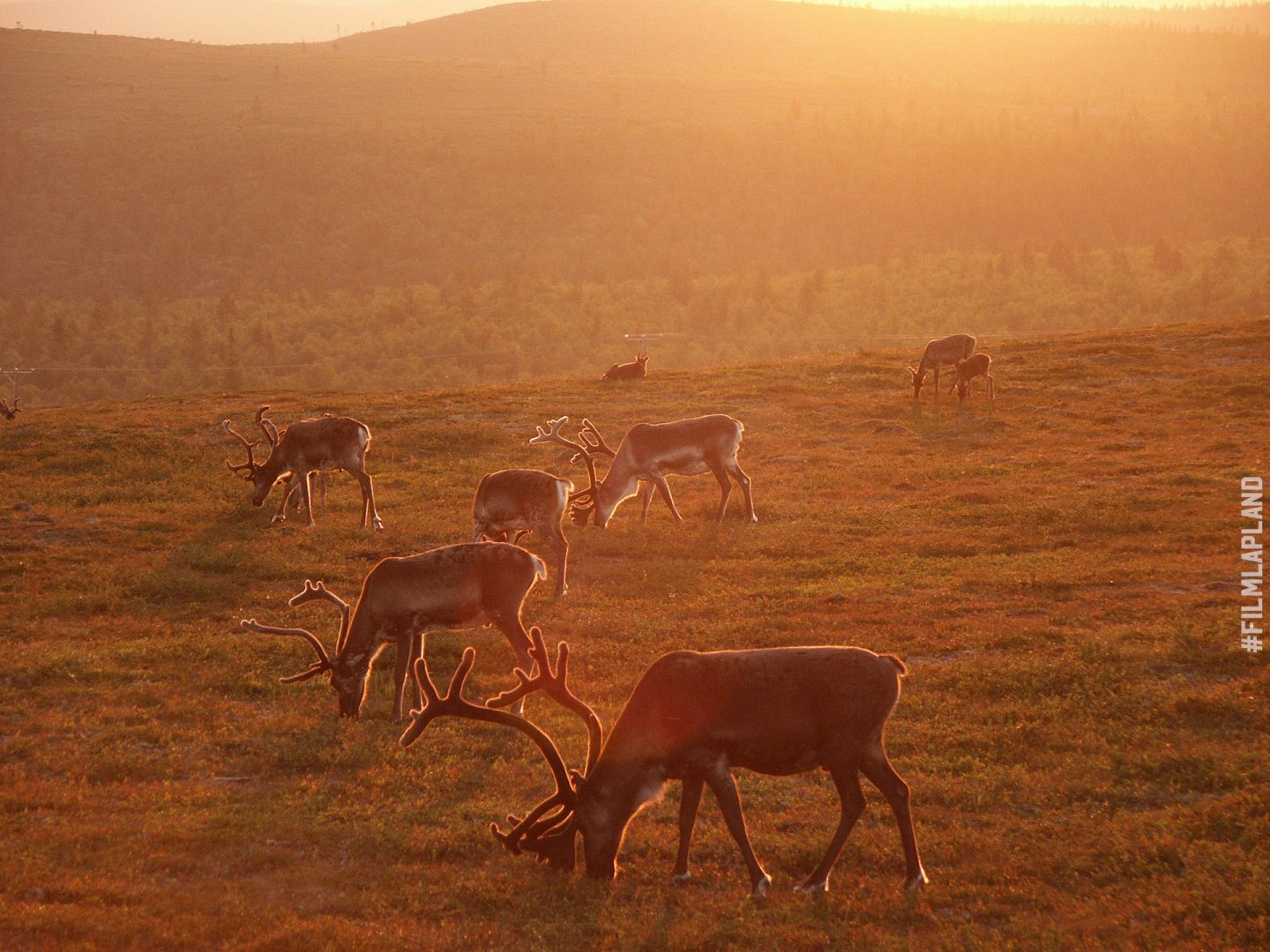 Reindeer enjoying the Midnight Sun in Inari Lapland
