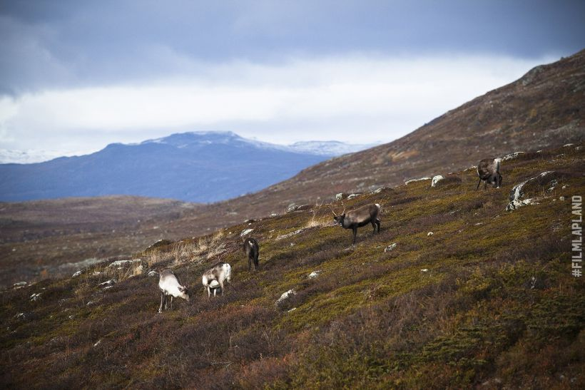 Reindeer eating on a hillside in Kilpisjärvi, Enontekiö, Finland
