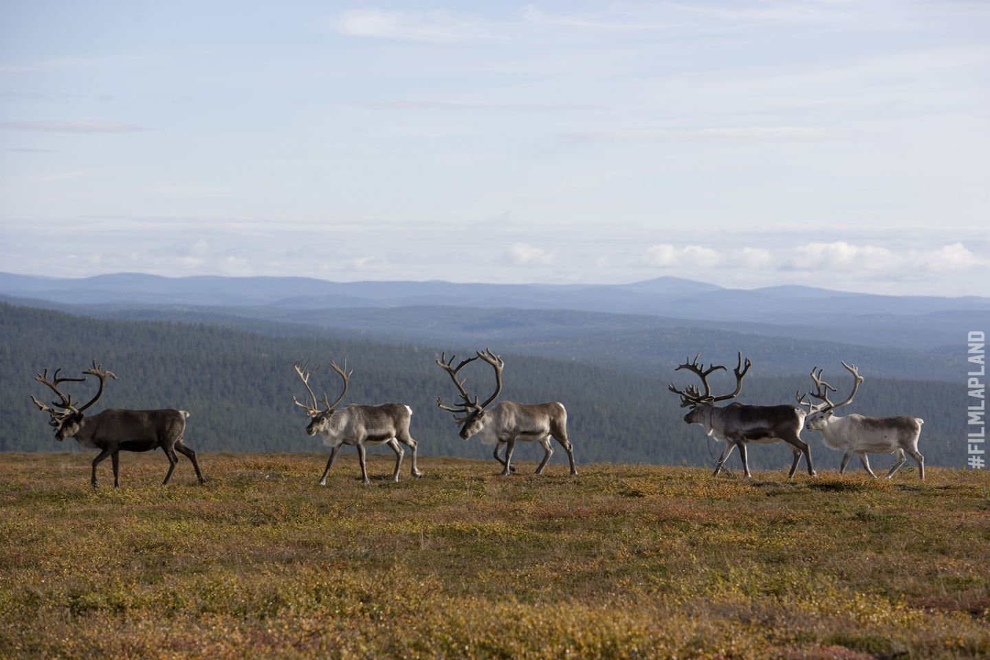 Reindeer enjoying a summer day in Inari, Lapland