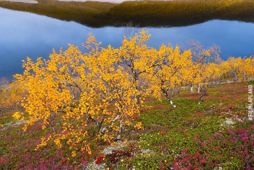 Dwarf birches in Utsjoki, Finland in autumn