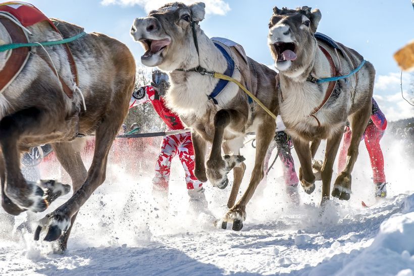 Reindeer race in Lapland
