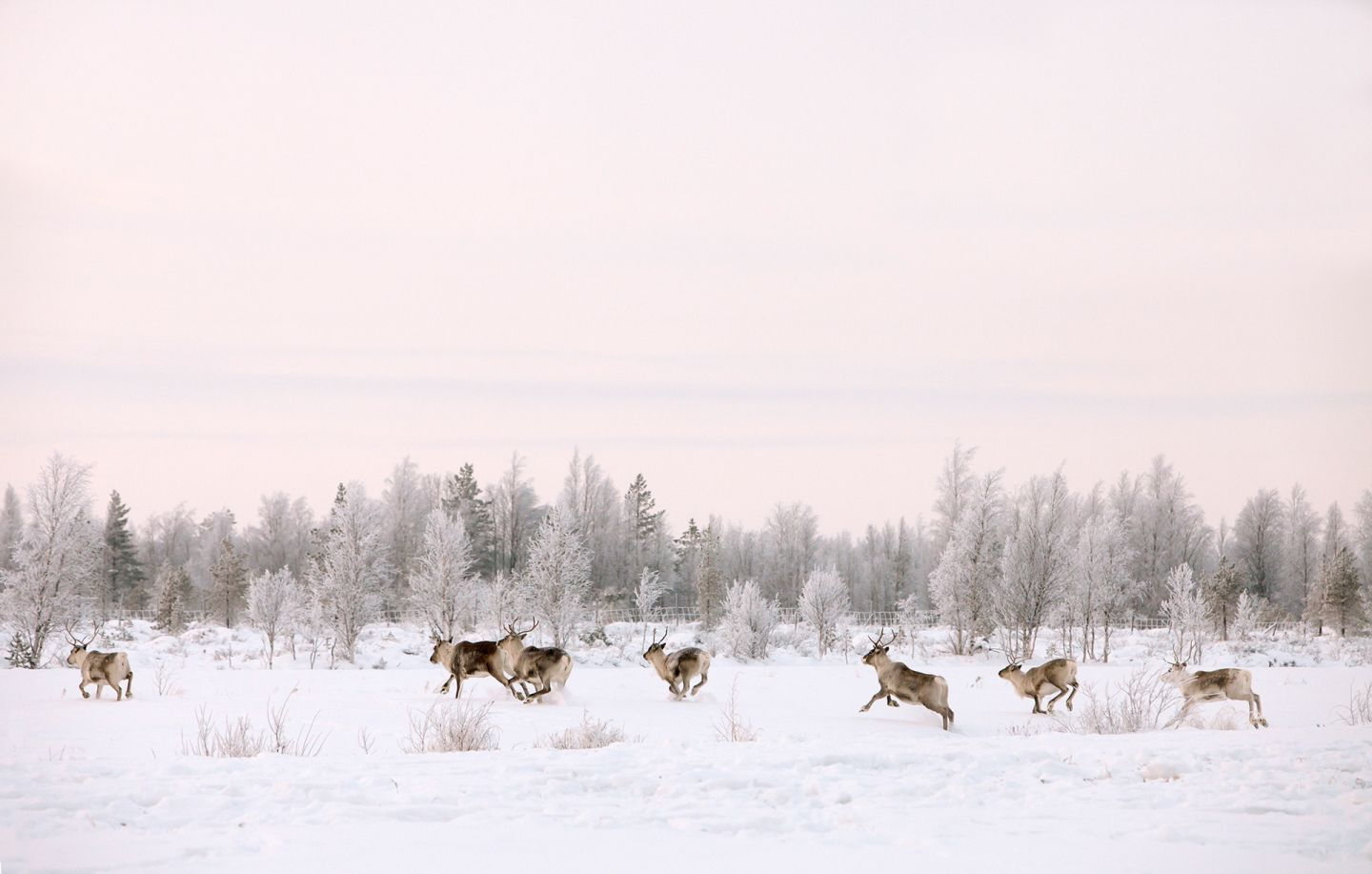 Reindeer running with light pink sky in Salla, Finland