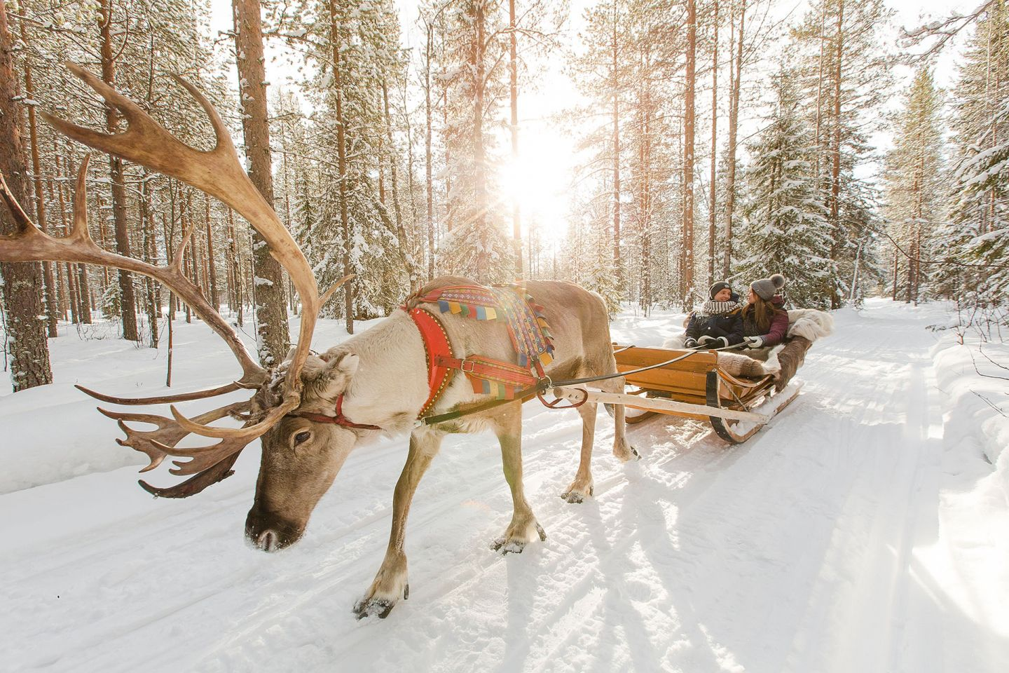 Spring sun and reindeer pulling sleigh in Rovaniemi, Finland