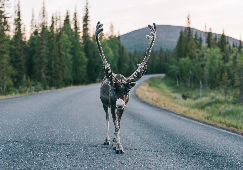 Reindeer on the road in Pallas, Lapland