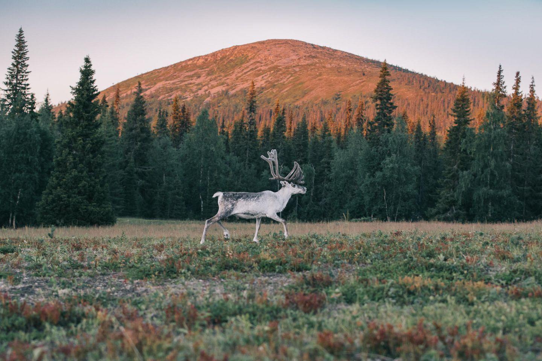 Reindeer in a field in Pallas, Lapland