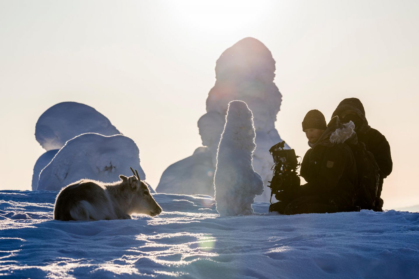 Reindeer lays on snow, from the film Ailo's Journey, filmed in Finnish Lapland