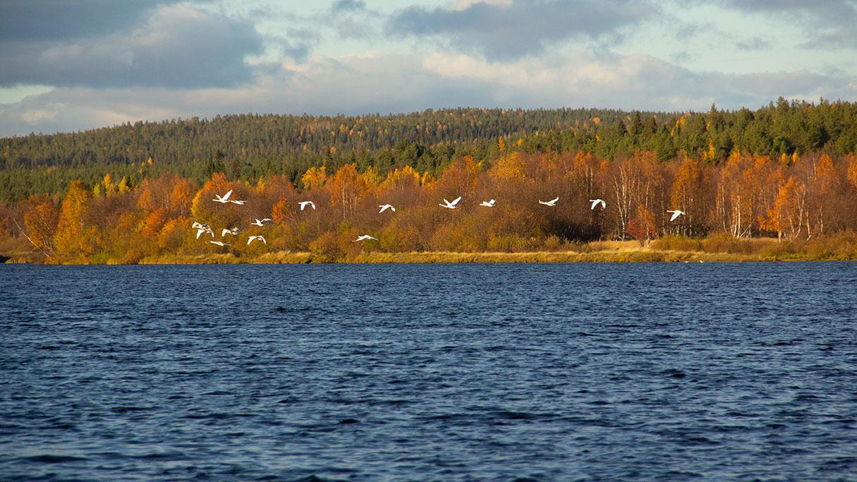 Swans flying over Ounasjoki River in Rovaniemi, Finland