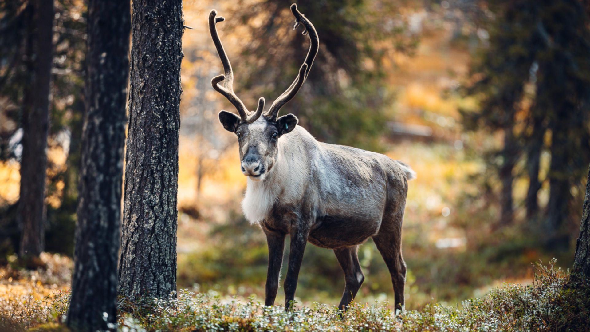 Autumn photographer, reindeer Lapland