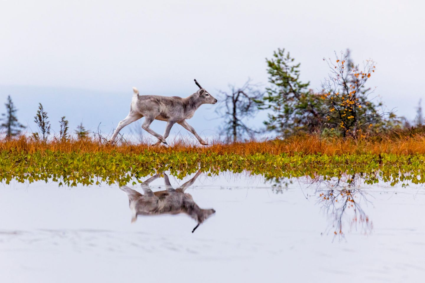 Reindeer reflected in the water, from the film Ailo's Journey, filmed in Finnish Lapland