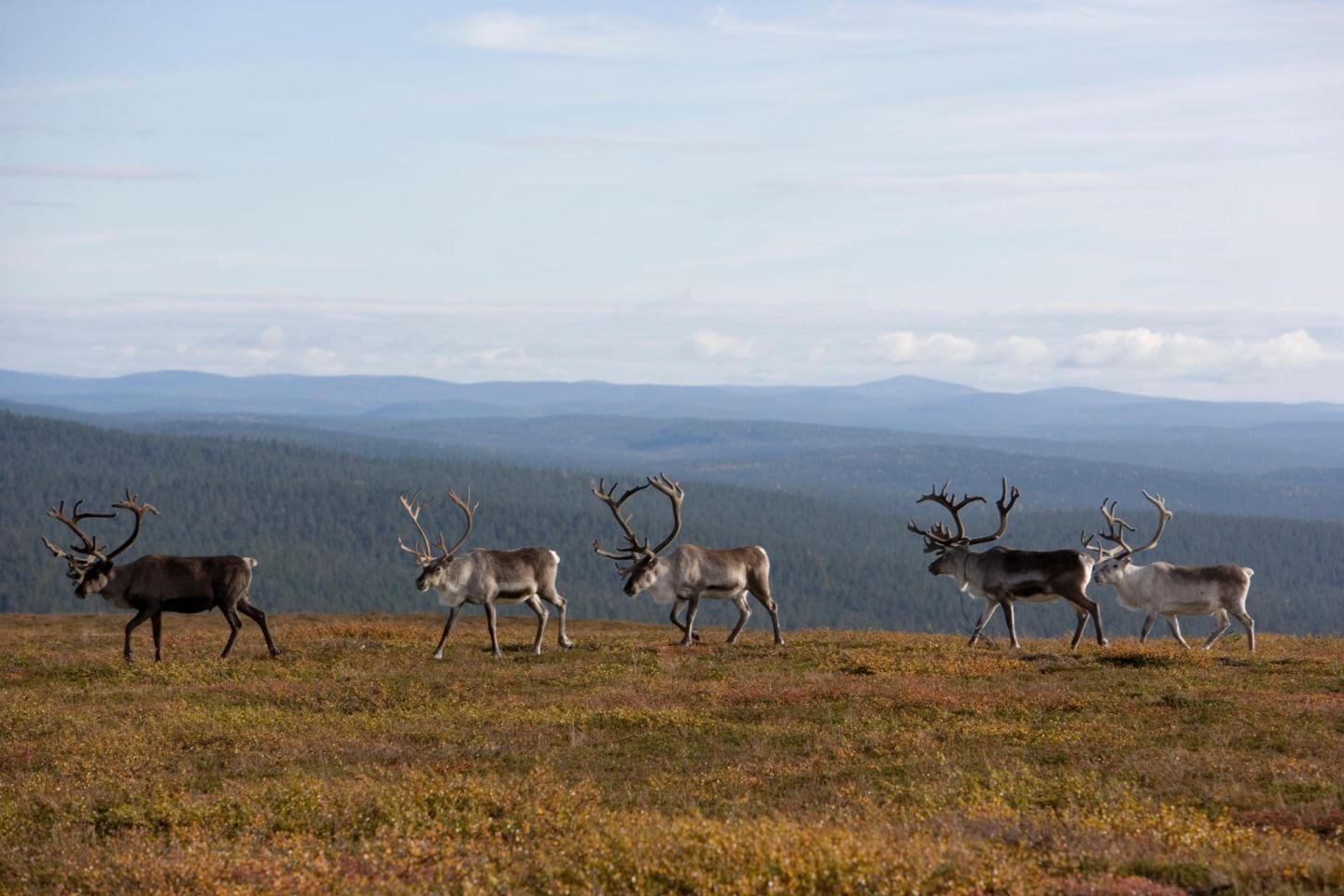 Reindeer on the fells in Inari, Finnish Lapland