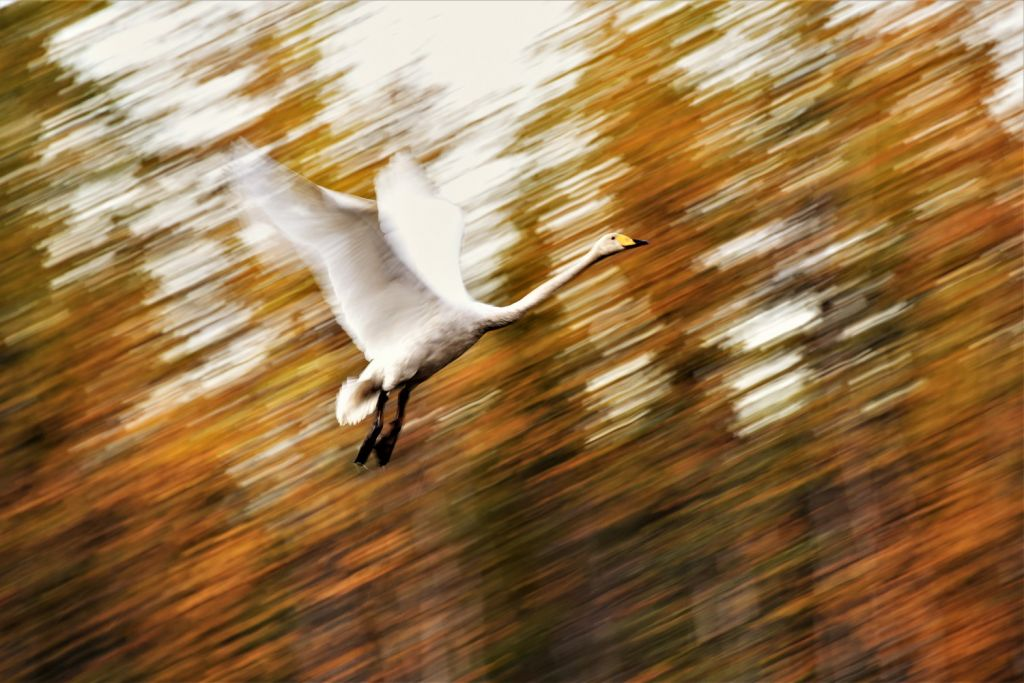 Whooper Swan - Lapland wilderness photographer