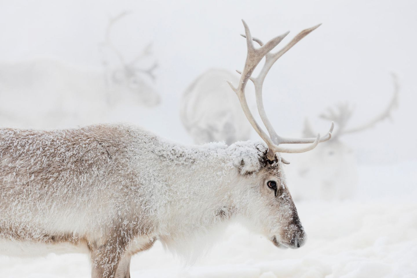 Reindeer in winter in Lapland, from the filming of Ailo's Journey