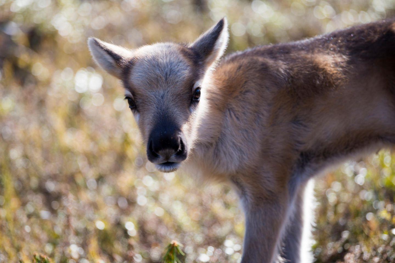 Reindeer calf in spring in Lapland