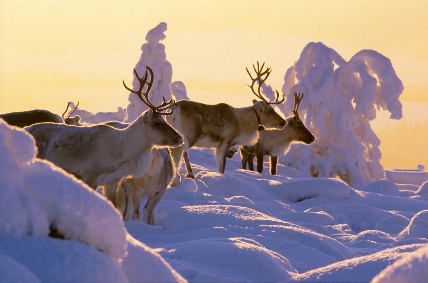 Reindeer enjoying the snowy fields in Lapland in winter