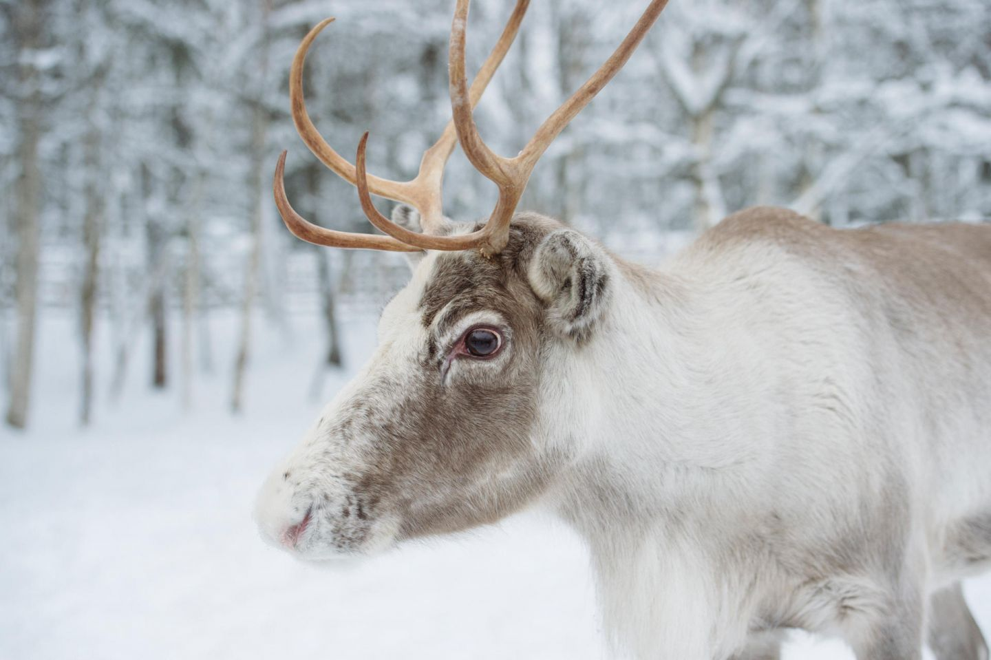Reindeer by the road in Rovaniemi, Lapland